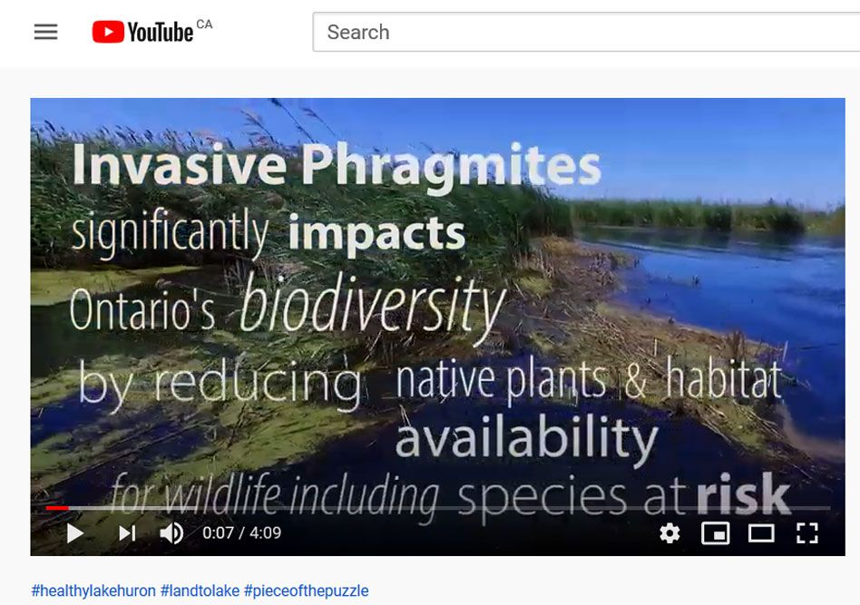 Watch this video, at link in article below, about fighting Canada's worst invasive plant along Lake Huron's southeast shore